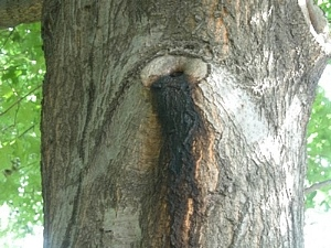 Bacterial Wetwood or Slime Flux